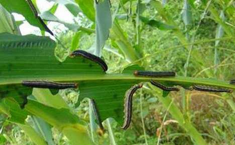 二代粘虫大面积爆发,玉米地一夜被啃精光!使用武秀才免工+郗望复配效果真好