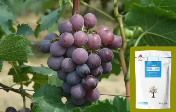 武秀才磷酸二氢钾在葡萄上如何使用